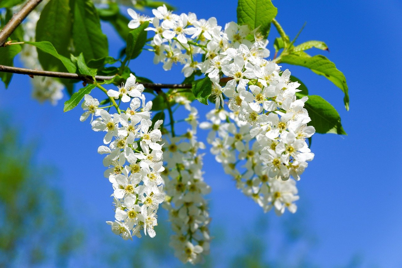bird cherry, flowers, branch
