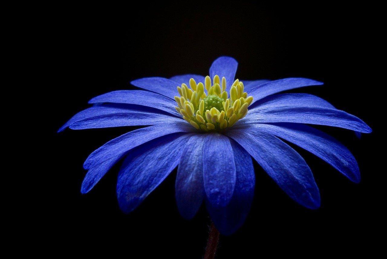 flower, anemone, petals